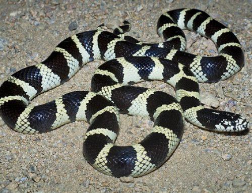 Banded Californian King Snake