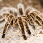 chilean-rose tarantula