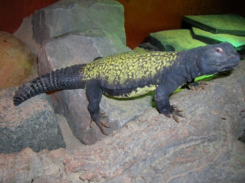 Maliensis Uromastyx