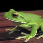 white lipped tree frog